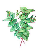 Bouquet of branch heart-leaved eucalyptus (Eucalyptus gunnii, plant also known as Silver Dollar Gum). Watercolor hand drawn painting illustration, isolated on white background.
