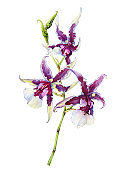"""The branch of blossoming tropical pink flower orchid Aliceara (Beallara) Peggy Ruth Carpenter """"Morning Joy"""". Hand drawn watercolor painting illustration isolated on a white background."""