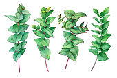 Big set of branch heart-leaved eucalyptus (Eucalyptus gunnii, plant also known as Silver Dollar Gum). Watercolor hand drawn painting illustration, isolated on white background.
