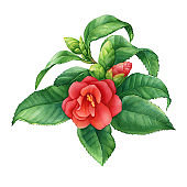 Spring red Japanese camellia with flowers and green leaves (known as rose of winter, Camellia reticulata). Hand drawn watercolor painting illustration isolated on white background.
