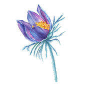 First spring wildflower purple Pulsatilla patens (also known as Eastern pasqueflower, prairie crocus, cutleaf anemone). Hand drawn watercolor painting illustration isolated on white background.