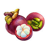 Tropical fruit - fresh purple mangosteen (Garcinia mangostana, monkey fruit, Queen of fruits). Hand drawn watercolor painting illustration isolated on white background.