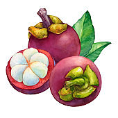 Tropical fruit - fresh purple mangosteen (Garcinia mangostana, monkey fruit, Queen of fruits). Whole and half with leaves. Hand drawn watercolor painting illustration isolated on white background.