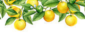 Seamless border with branches of fresh citrus fruit round cumquat (also called Marumi or Morgani kumquat) with green leaves and flowers. Hand drawn watercolor painting on white background.