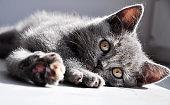 A British shorthair kitten