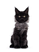 Black smoke Maine Coon kitten on white background
