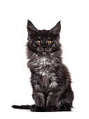 Black smoke kitten on white background