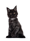 Black smoke Maine Coon cat kitten on white background