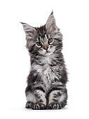 Silver tabby Maine Coon kitten on white