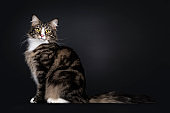 Black tabby blotched Norwegian Forestcat on black background