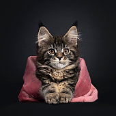 Black tabby Maine Coon cat on black background