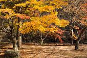Autumn maple tree forest in Korea, Naejangsan National Park, South Korea.