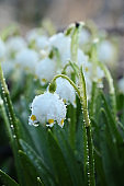 Spring blurred floral background with drops and bokeh, Birth of a new life. Snowdrops run in the sun, selective focus, screen saver