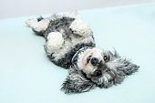 The elderly croosbreed of the poodle and shi tzu is lying on the bed