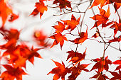 Autumn forest in Korea. Red maple leaf close-up photo blowing in the wind on white sky background