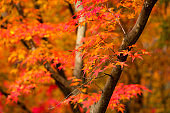 Autumn, forest background and beautiful red maple trees. Naejangsan National Park, South Korea.