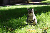 Portrait of squint tabby cat is sitting on a grass on sunny day at summer. Homeless cat on a street.