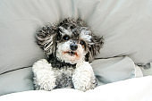 The elderly croosbreed of the poodle and shi tzu is lying in the bed under the duvet and looking cute and happy.