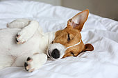 Small breed dog lying in the owner's bed with cotton linens.