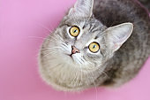 Close-up portrait of a domestic cat with yellow eyes on pink background. Cute tabby cat with yellow eyes and long whiskers looks at camera with a sweet expression.