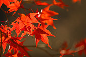 Red maple leaf close-up photo on autumn forest background in Korea