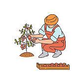 Cartoon farmer harvesting red tomatoes from bush - vector illustration