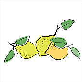 Lemons. Hand drawn vector illustration for fruit stores, restaurants and farm markets promotion