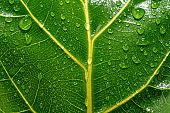 Close up of a wet and shiny green leaf with yellow veins