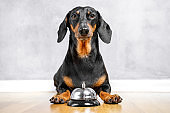 Cute dachshund laying on the floor with a bell between paws for calling of a servant. Light background, copy space, funny dog face expression.
