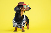Funny little dachshund wearing stripped vest, sunglasses and brown hat standing on bright yellow background and looking to right side. Humor concept of traveler, or owner liking to dress their dogs.