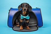 Smart dachshund with turquoise bow tie obediently sits in pet carrier on blue background, studio shot. Safe and convenient transportation of animals in public place, in veterinary clinic or in journey