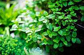 Fresh green mint plants