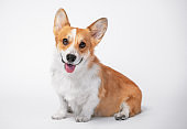 funny dog (puppy) breed welsh corgi pembroke sit and with big smiles on a white background. not isolate.