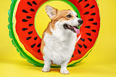 Adorable smiling welsh corgi pembroke or cardigan dog peeks out of hole in inflated swimming life buoy on yellow background, front view, copy space for juicy advertising text