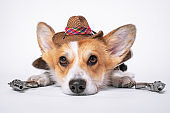Cute ginger and white dog of welsh corgi pembroke breed wearing cowboy straw hat and holding two revolvers in each paws, lays on the floor on white background. Funny face expression, pretty look.