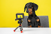 Famous obedient dachshund blogger sits at table and shoots video blog for dogs on action camera on yellow background, front view. Interview or breaking news for pets