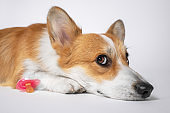 portrait of a tired dog welsh corgi pembroke breed lies on a white floor next to a baby pink pacifier. Pregnancy of an animal. The appearance of the child in the family.