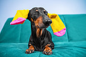 Funny black and tan dachshund dog with bright colored socks for pets or children on ears is lying on sofa with his eyes closed with pleasure, advertising clothing.