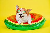 Smiling welsh corgi pembroke or cardigan dog in red sunglasses with polarizing lenses lies in inflated life buoy for swimming on yellow background, front view, copy space for juicy advertising text
