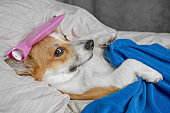 Cute red and white corgi dog, sleeping in bed with high fever temperature, ice bag on head, covered by a blanket