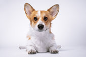 Cute welsh corgi pembroke or cardigan dog lies stretching its paws forward on white background, front view, studio shot. Portrait of lovely obedient puppy