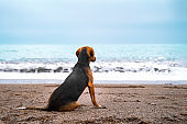 Sad black and tan mutt sits on sandy shore of sea or ocean and looks over the horizon, rear view. Seascape in bad cloudy stormy weather. Foamy waves roll ashore. Feeling of loneliness and freedom