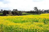 rape blossoms, rural, spring, landscape, farming, fields,