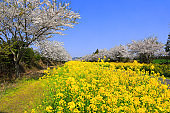 Noksan Road, Cherry Blossoms, Rape Blossoms, Festivals, Roads, Flower Paths, Rural Areas,