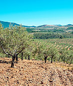Olive field