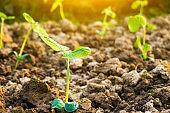 soybean sapling in soil