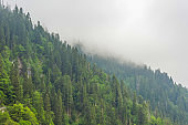 Mountain gorge with dense coniferous forest with low clouds.