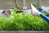Young seedlings of dill and salad in greenhouse. Baby plants seeding. The spring planting.