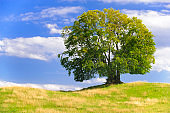 single big old deciduous tree in meadow