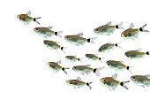 Red Eye Tetra fish